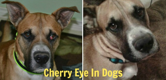 Before and After treatment of Cherry eye in dogs