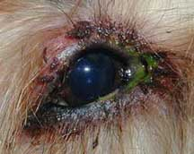 Green eye boogers in dogs is a sign of an infection