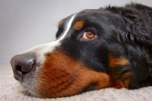 Settling your dog down to examine its running nose