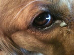 Dog Eye Discharge