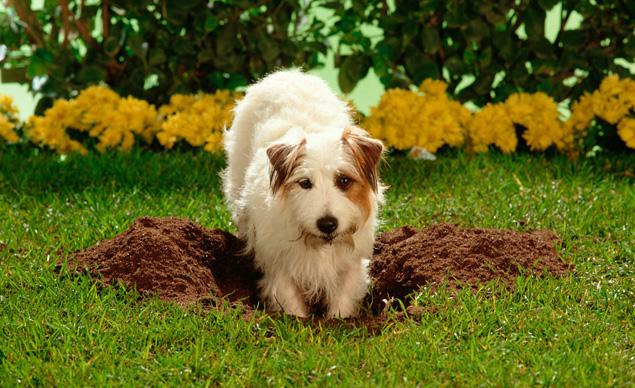 Dog digging in grass