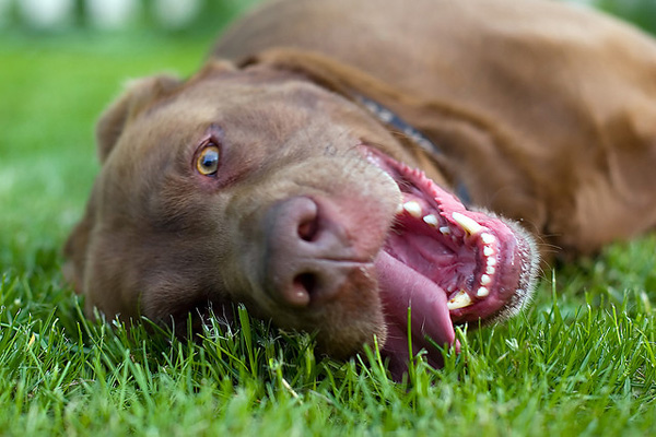 Excessive panting in dogs