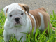 bulldog pet care