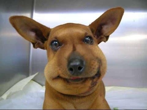 Swollen dog stung by bee
