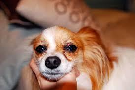 Dog stye on puppy