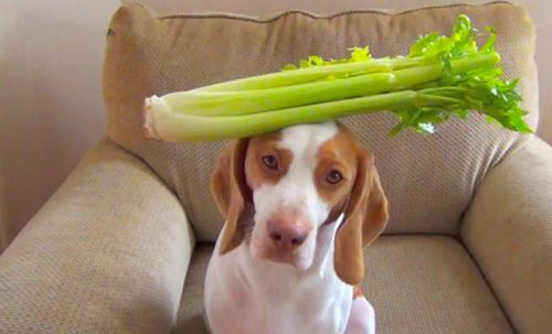 Celery for dogs.