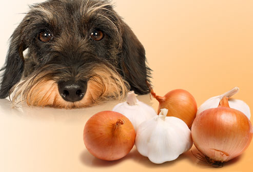 Onions and garlic toxic foods for dogs