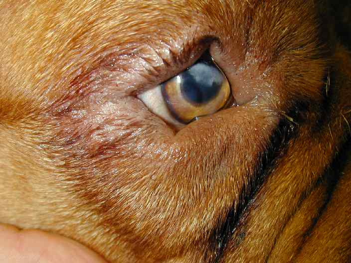 Entropion in dogs