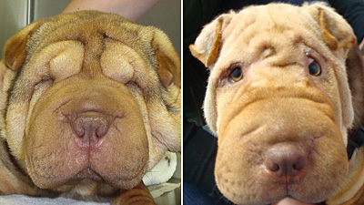 Shar Pei Entropion before and after