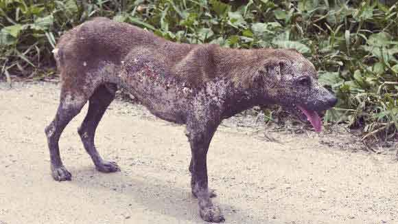 Hair loss is common in dogs with mange
