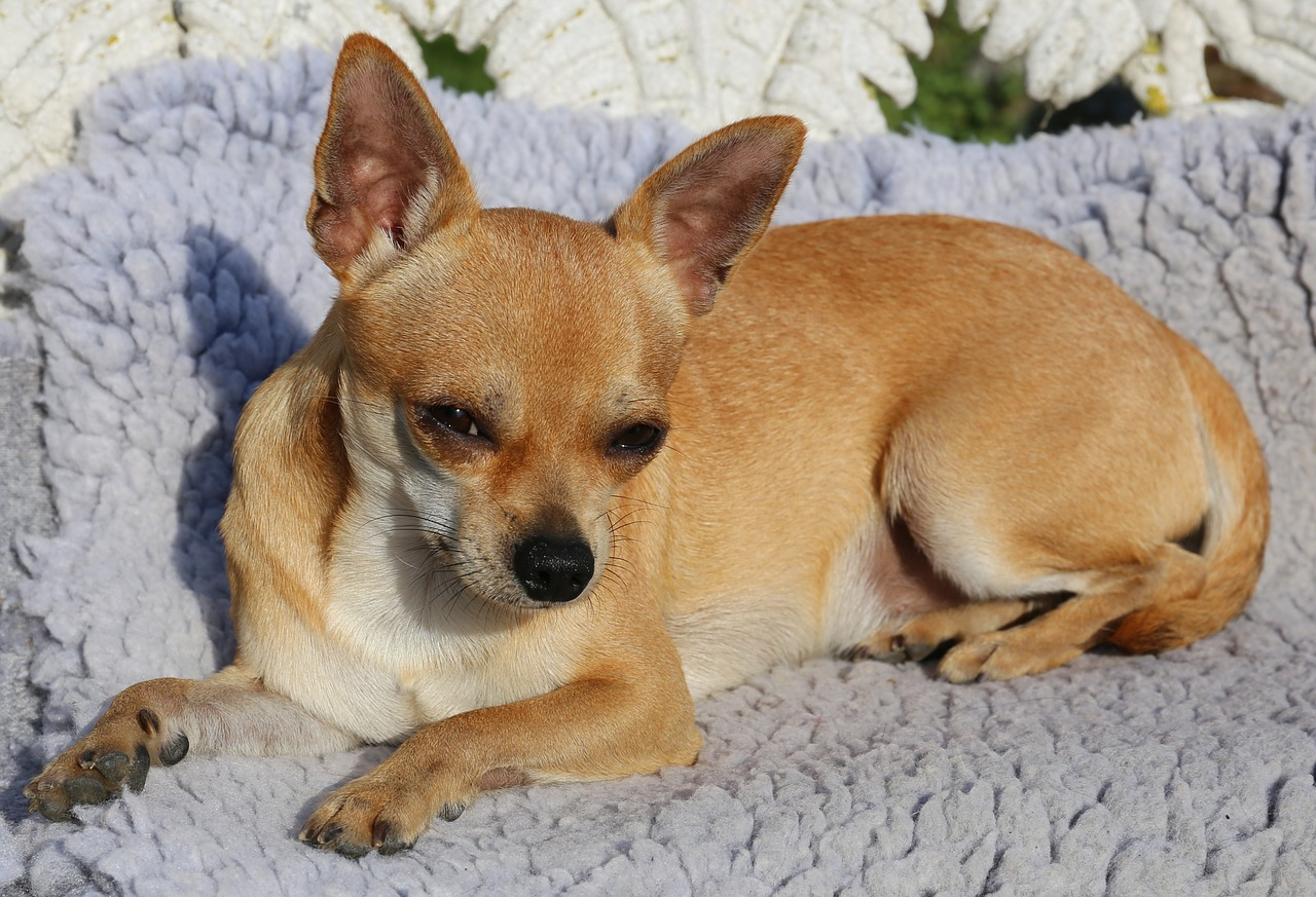 Dog wheezing is common in chihuahuas