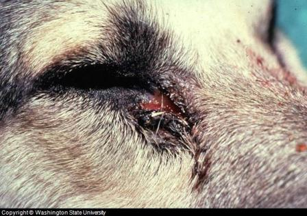 Eye Infection - Home Remedies for Dog Eye Infection