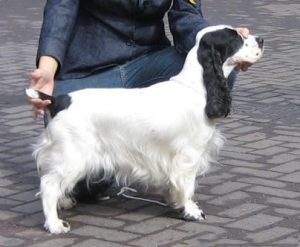 Dog with Docked tail image- 3