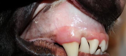 Pale Gums is a Common Sign of Anemia in Dogs