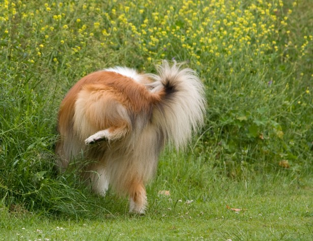 Dog urinating: Discover causes of crystals in dog's urine
