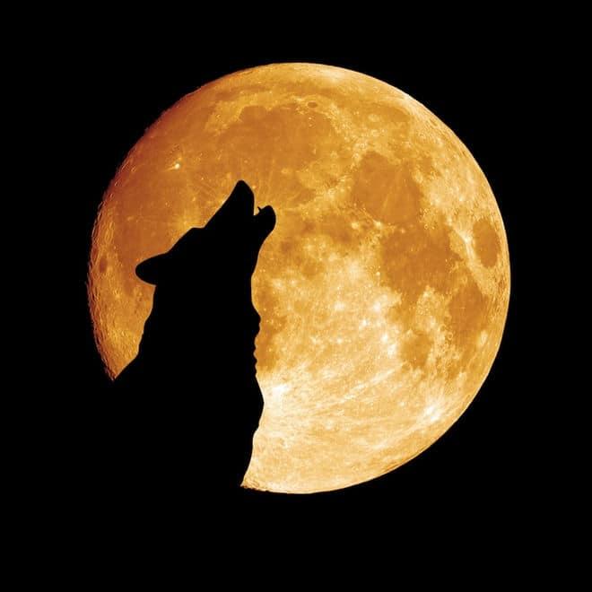Dog howling at night moon