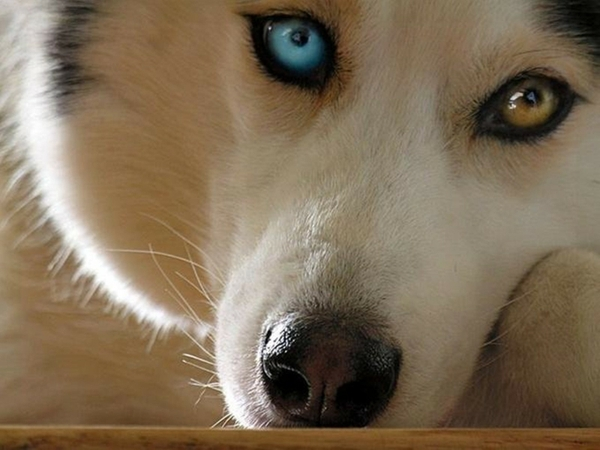 Heterochromia in Dogs