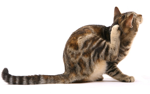 How to get rid of fleas on cats