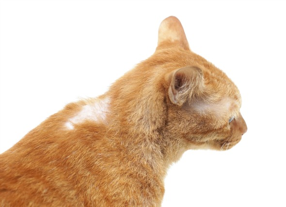 Cat Hair Loss  Hair Loss In Cats  Why Is My Cat Losing Hair  Causes  Diagnosis  And Treatment