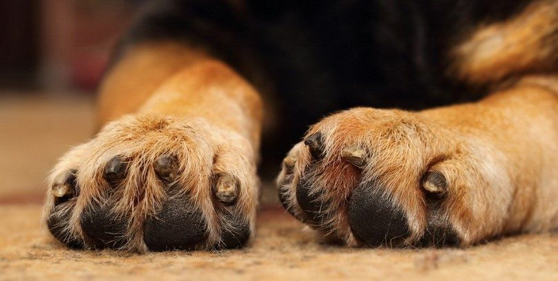 Yeast infection in dog paws