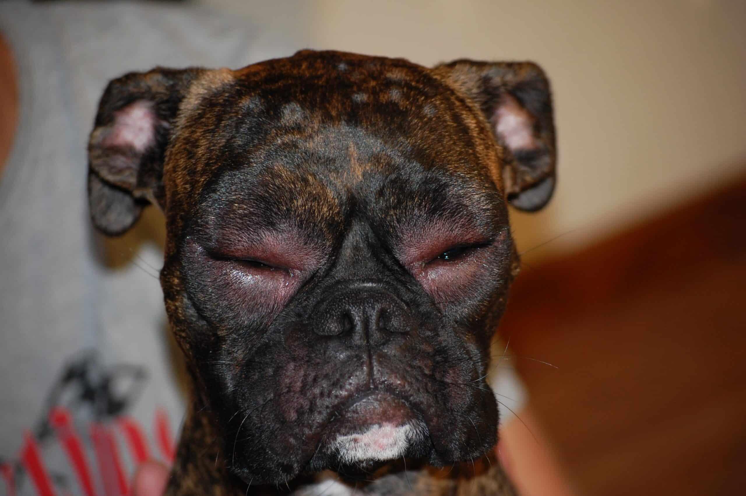 Dog eyes swollen shut