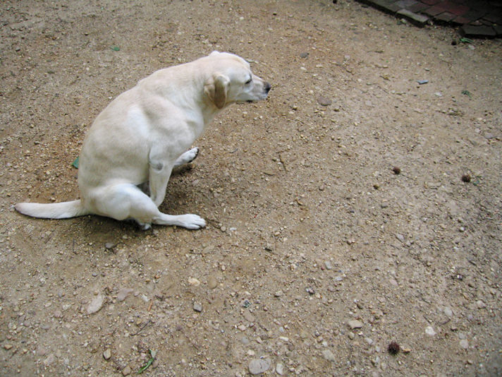 Dog scooting after anal glands expressed, pooping or grooming