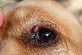 Bump on dog eyelid