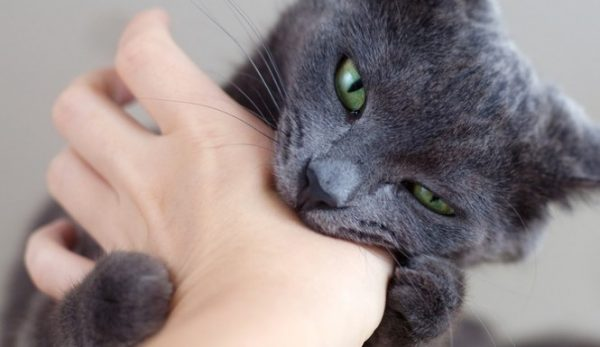 """Cat Biting Gently is a Way of Saying """"I Love You"""""""