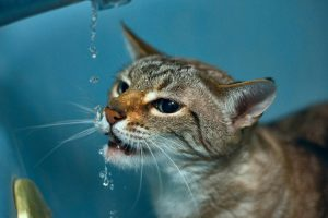 Maximum hydration for cystitis in cats