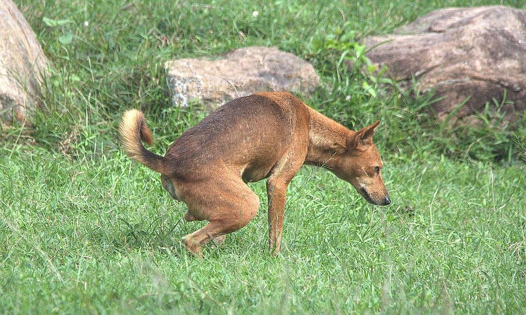 Urinating Dog - Is Your Dog Urine Killing Grass