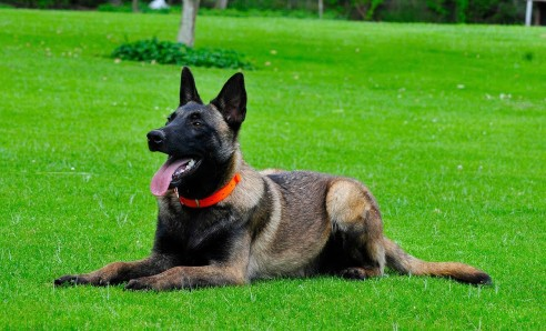 How to Train a Belgian Shepherd   Dogs, Cats, Pets