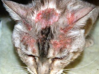 Cat miliary dermatitis