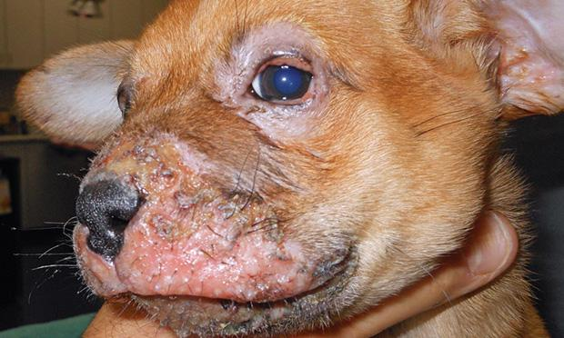 Cellulitis in dogs