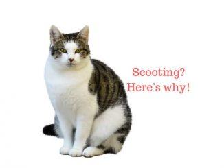 Cat scooting