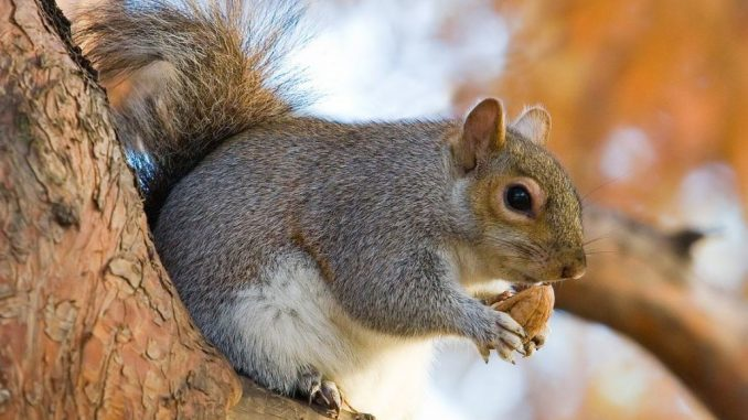Lifespan of a squirrel on average