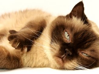 Tick paralysis in cats