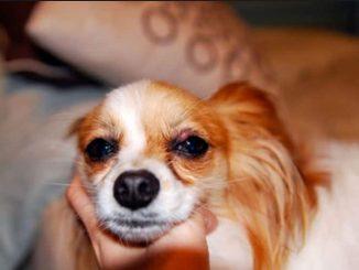 Sty on dog's eyelid