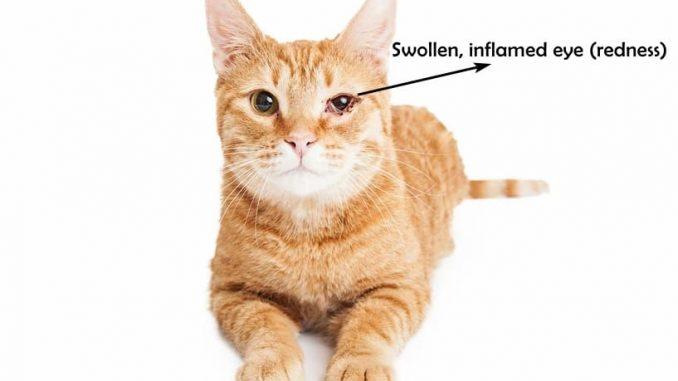 Cat swollen eye with redness