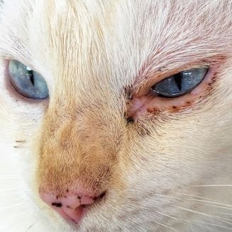 Pink eye in cats