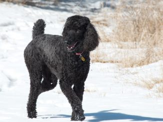 Dog Breed Guide - Poodle