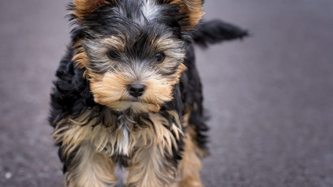 Dog Breed Guide - Yorkshire Terrier