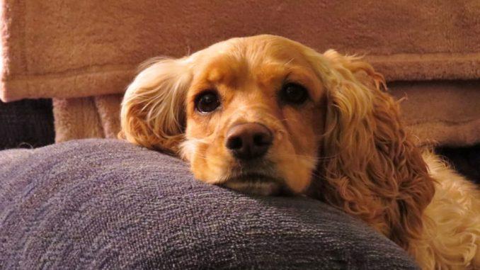 Dog Breed Guide – Cocker Spaniel